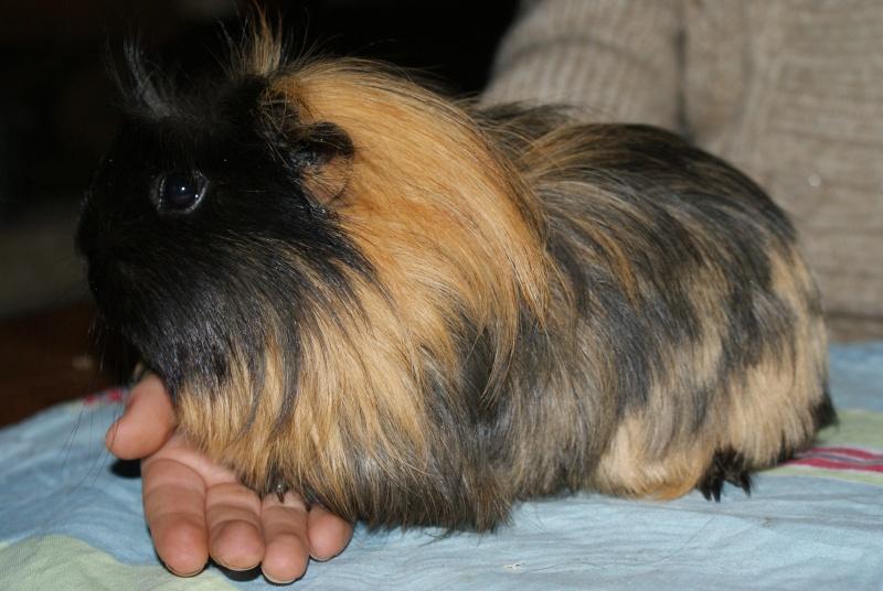 Notre famille cochon d'inde, nouvelles photos 03/02 Dsc05928