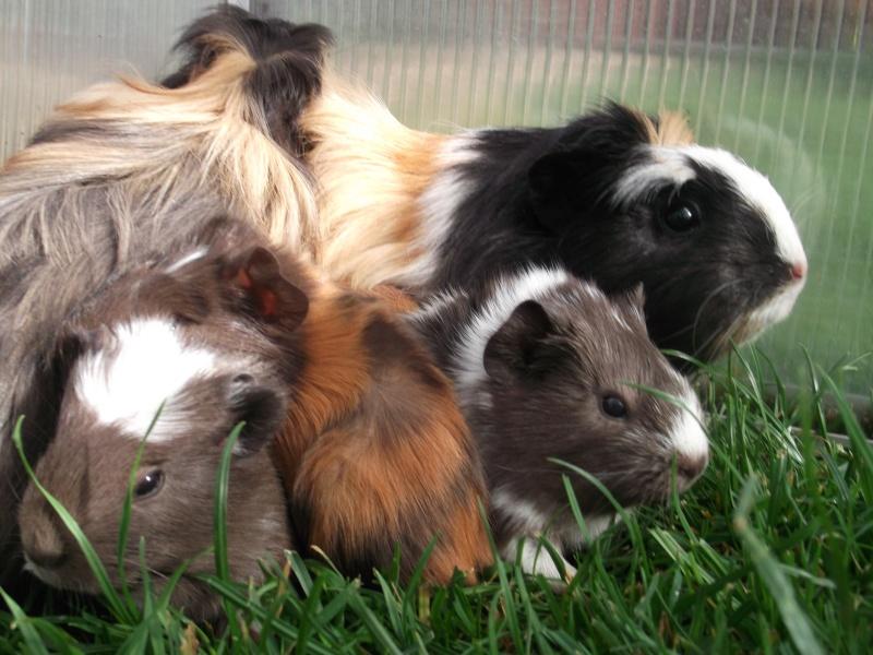 Notre famille cochon d'inde, nouvelles photos 03/02 Dscf1310