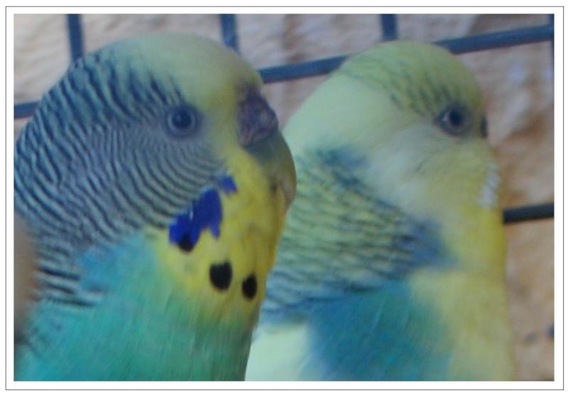 Mes perruches ondulées Tete_b10