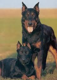 Niko and Sonja the dogs Adult_10