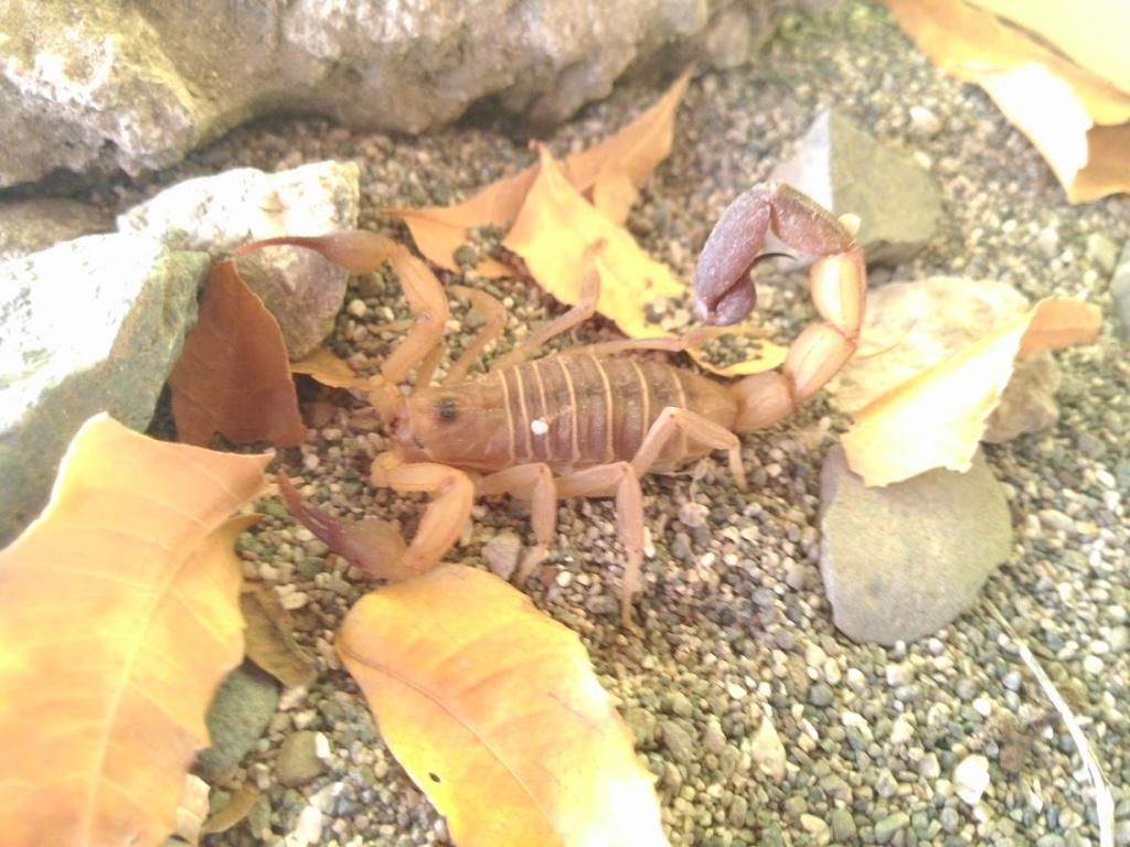 Please help me ID this scorpion, is it safe to keep as pet? 2014-011