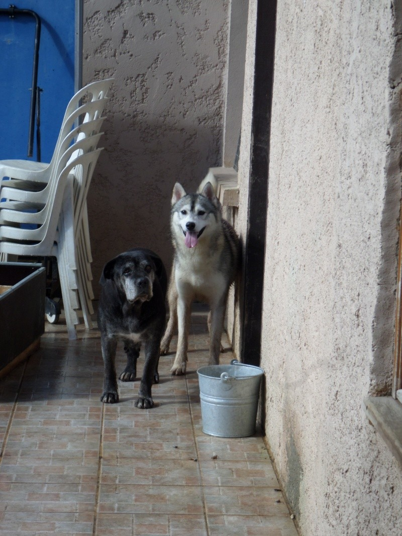 Gerry Black Sibérian Husky 3ans, asso Home Wanted ( départ 60)  Sam_0211