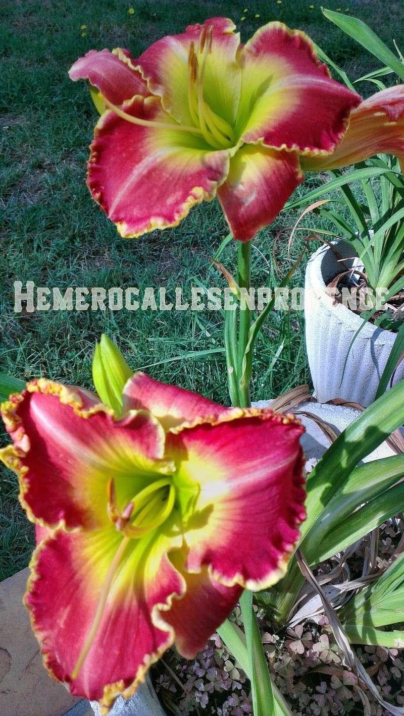 "Hémérocalles ""Feliz Navidad"" Imag0511"