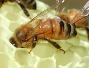 معلومات عن النحل بالصور 8713810