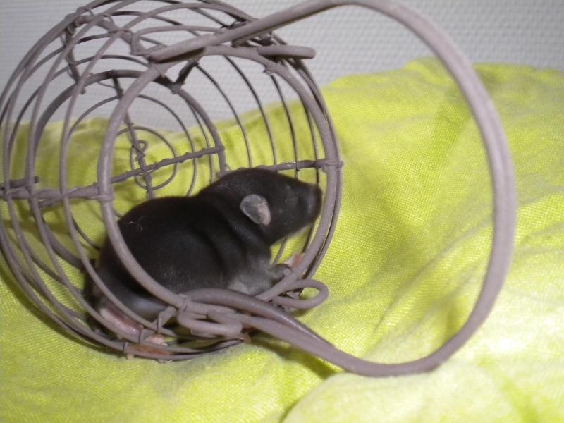 A CLOTURER : Mes toutes premières rattes !  Dscn1219