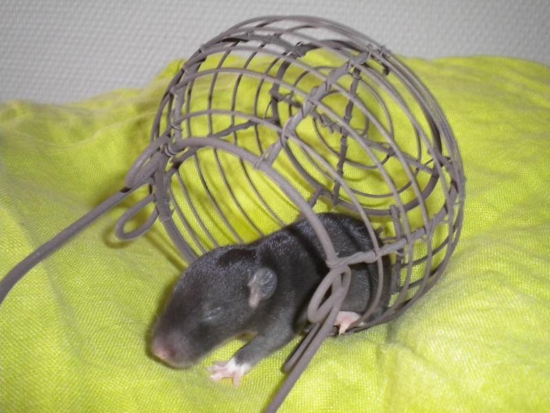 A CLOTURER : Mes toutes premières rattes !  Dscn1220
