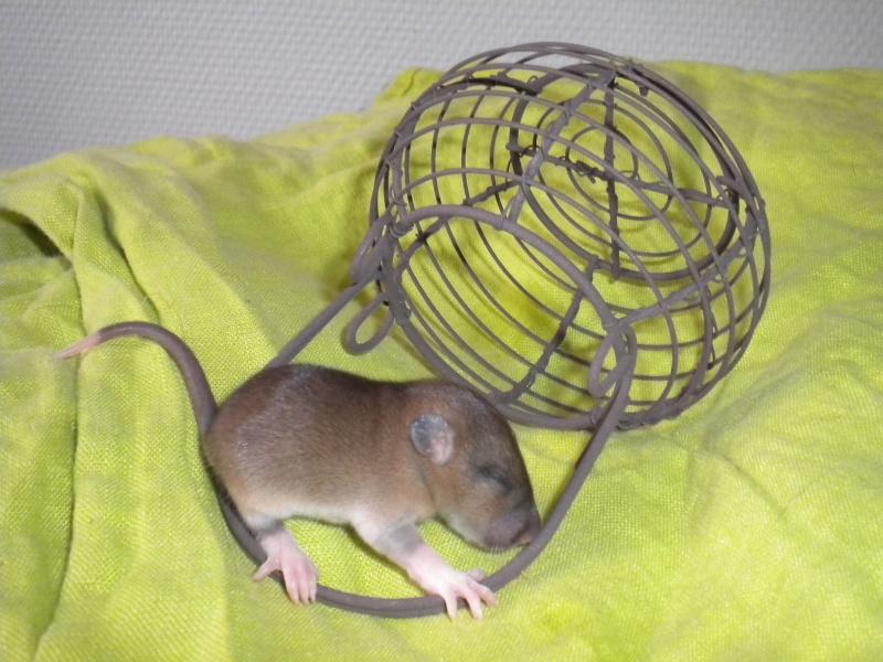 A CLOTURER : Mes toutes premières rattes !  Dscn1222