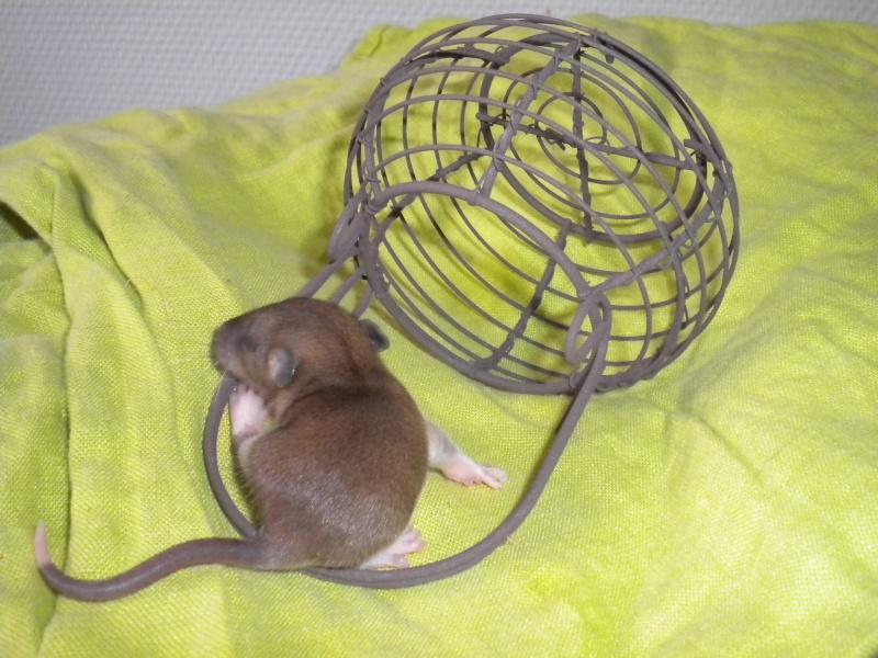A CLOTURER : Mes toutes premières rattes !  Dscn1223