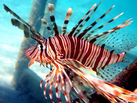 Les conquérants : Le poisson lion Poisso10