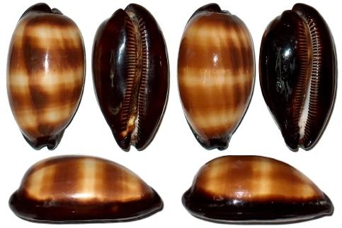 Cypraea talpa (Talparia) - Linnaeus, 1758 Cyprae10