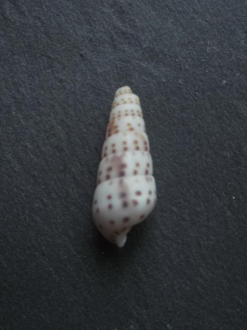 Pyramidella acus (Gmelin 1791) Dscf0731