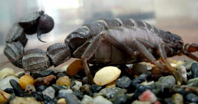 Gravid or PreMolt to 8i (Parabuthus Transvaalicus) 13786110