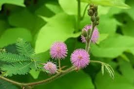 La minute fleur de Loyce Mimosa10