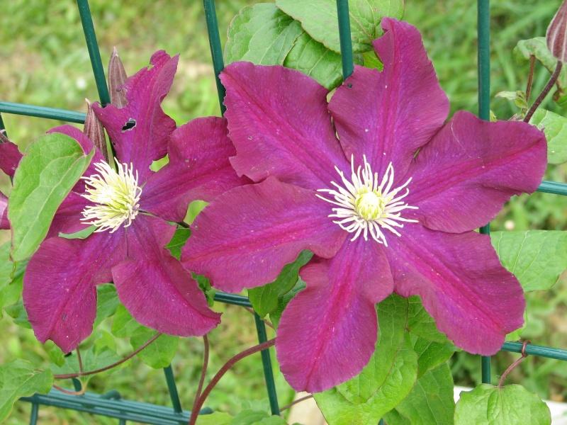 Hahnenfußgewächse (Ranunculaceae) - Winterlinge, Adonisröschen, Trollblumen, Anemonen, Clematis, uvm. - Seite 4 Img_0212