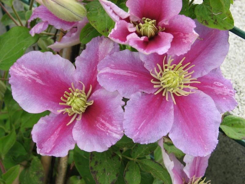 Hahnenfußgewächse (Ranunculaceae) - Winterlinge, Adonisröschen, Trollblumen, Anemonen, Clematis, uvm. - Seite 4 Img_0213