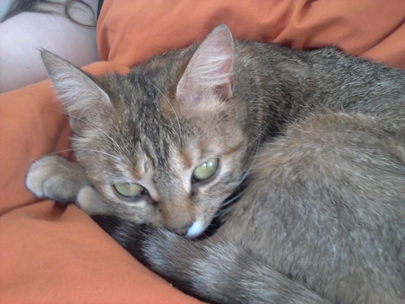 Iasmina, femelle tabby fauve roux née en février 2013 03210