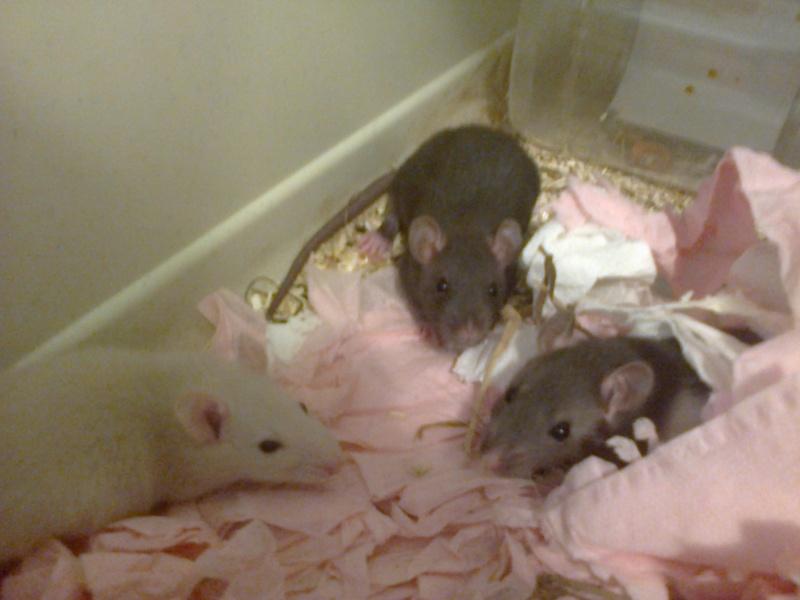 Freezie, Dundee et Alex. Mes amours de ratoux!  Photo214
