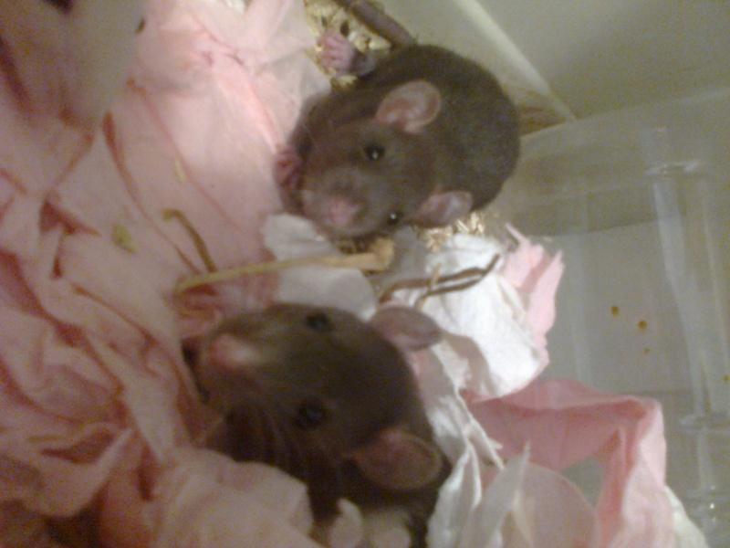 Freezie, Dundee et Alex. Mes amours de ratoux!  Photo216