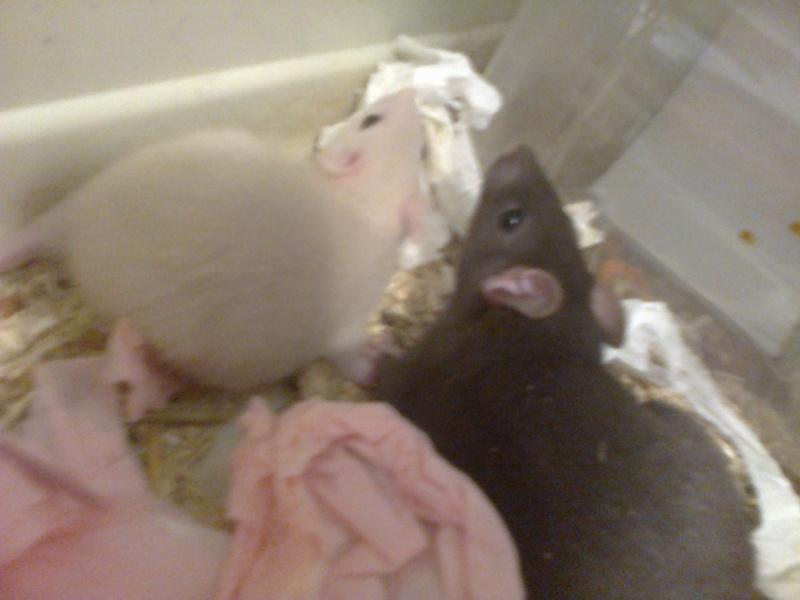 Freezie, Dundee et Alex. Mes amours de ratoux!  Photo220