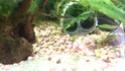 mon premier aquarium 54L Dsc_0611