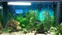 mon premier aquarium 54L Dsc_0613