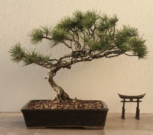 Second serious wiring- Black Pine Black_10