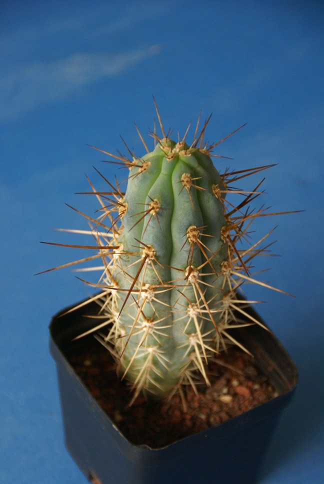 Can you ID this nursey cactii? Dsc01417