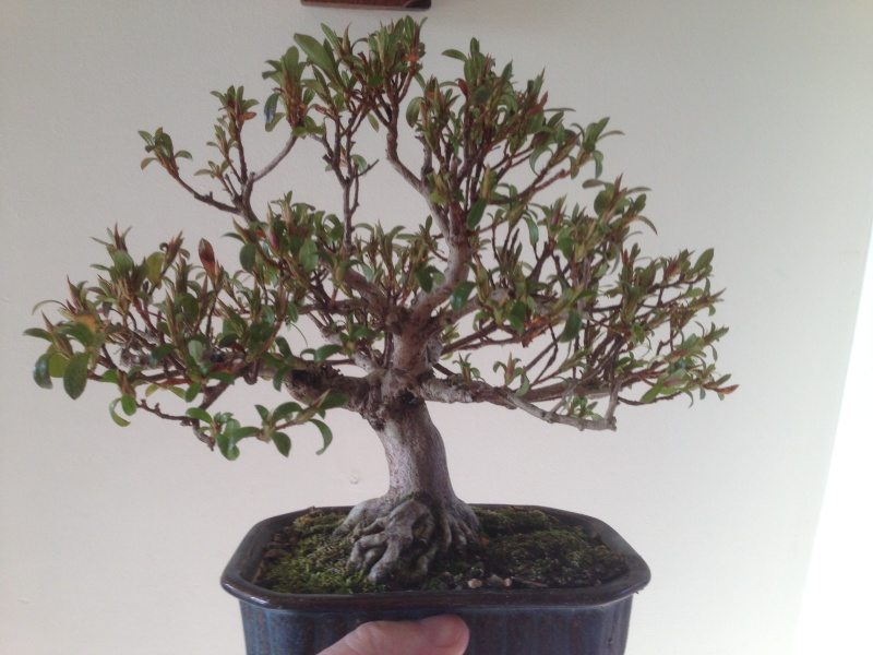 Best time to repot satsuki azalea in Canada Img_0111