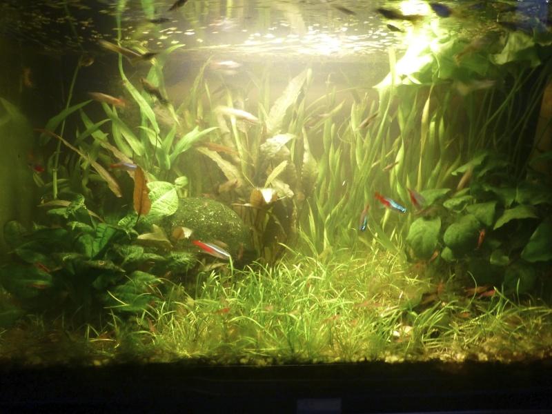 Reprise à zéro d'un aquarium envahi P1030711
