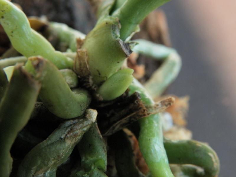 Phalaenopsis parishii x lobbii Sam_6317