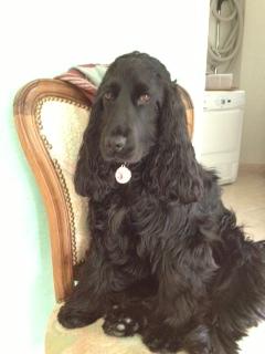 pipi - ma chienne de 7 mois fait pipi sur le canapé. Gaia19