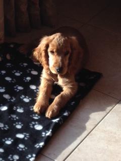pipi - ma chienne de 7 mois fait pipi sur le canapé. Ioko_a15
