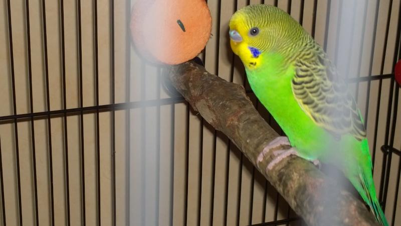 Yoshi, ma petite boule de plumes adorée! Wp_20110