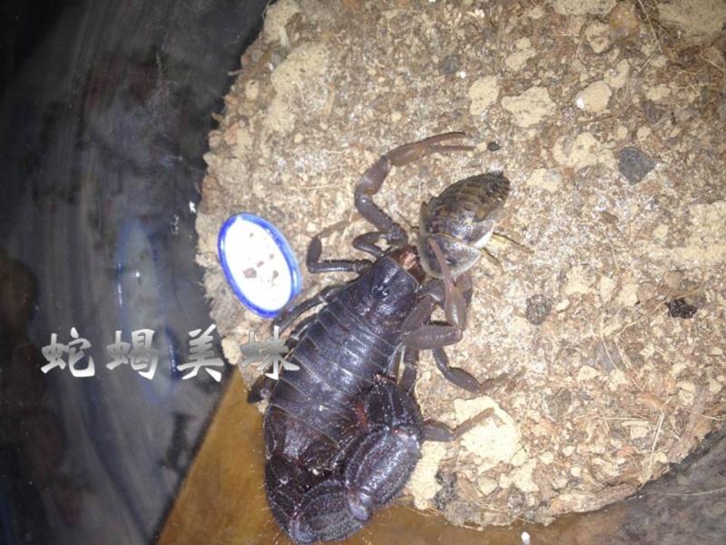 Glutton scorpion - Parabuthus transvaalicus Acc510