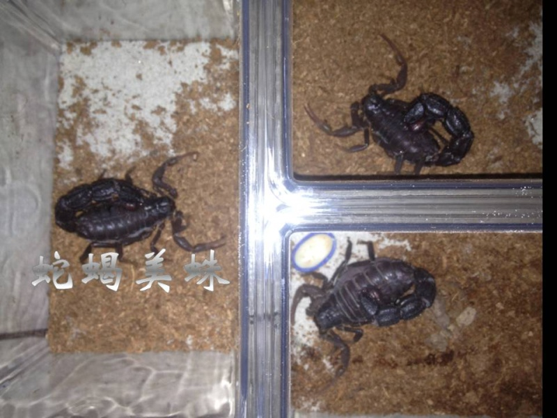Glutton scorpion - Parabuthus transvaalicus Acc610