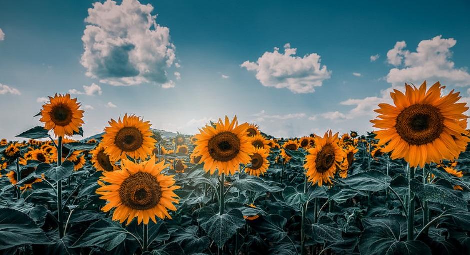 Suncokreti-sunflowers - Page 28 Captur11