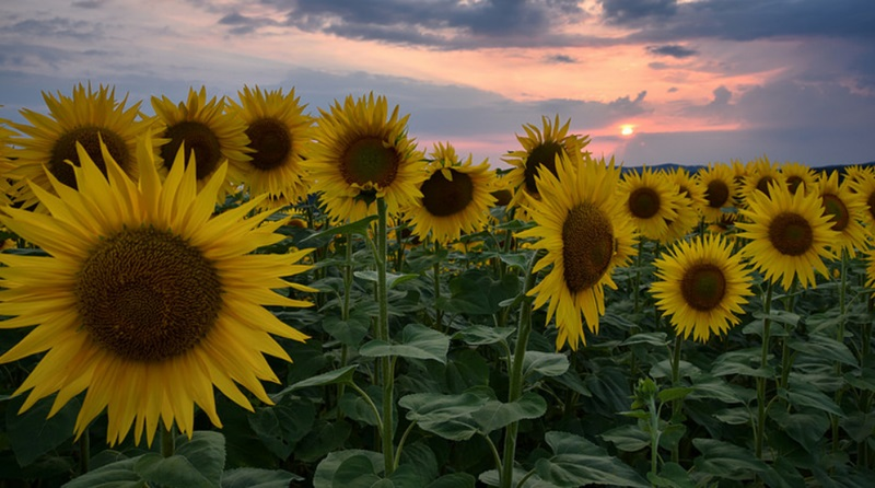 Suncokreti-sunflowers - Page 29 Captur29