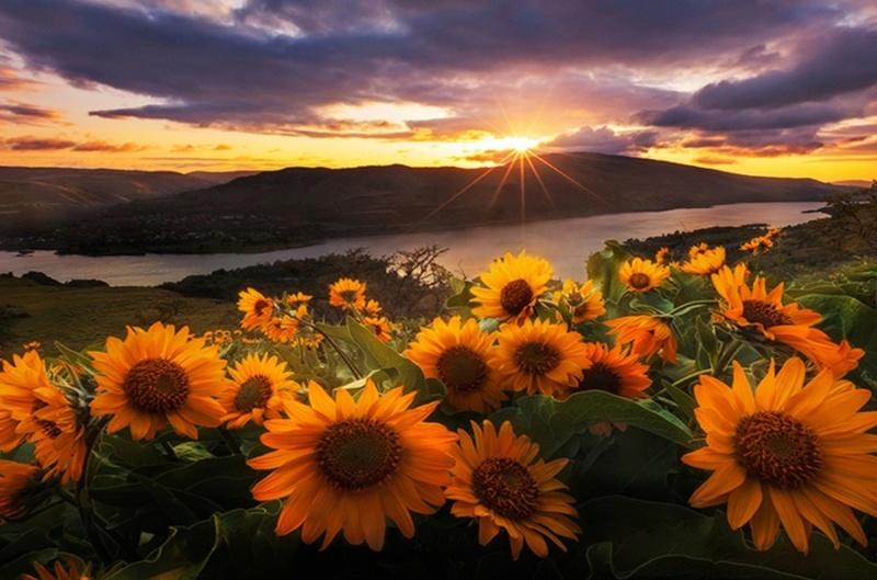 Suncokreti-sunflowers - Page 33 D37sr410