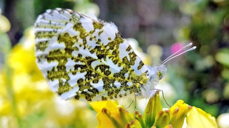 Leptiri i ostali insekti - Page 3 D7v9na10