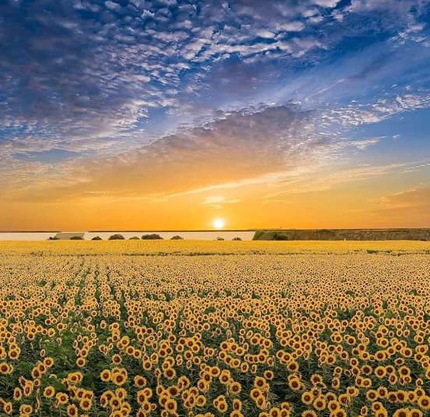 Suncokreti-sunflowers - Page 29 Dkmvjg10