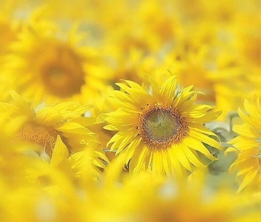 Suncokreti-sunflowers - Page 29 Dkw0xg10