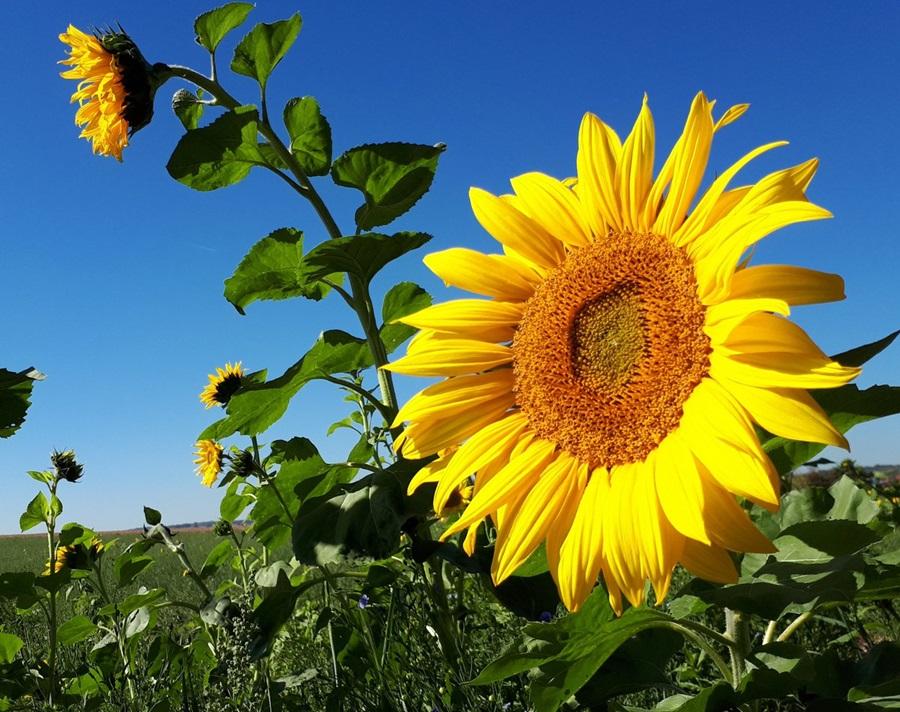 Suncokreti-sunflowers - Page 30 Dokc7010