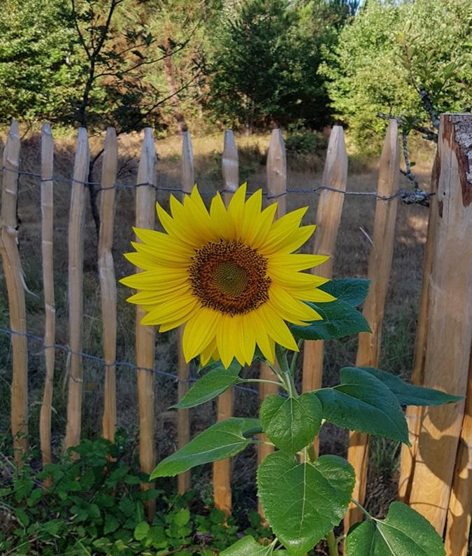 Suncokreti-sunflowers - Page 32 Ebbxwy10