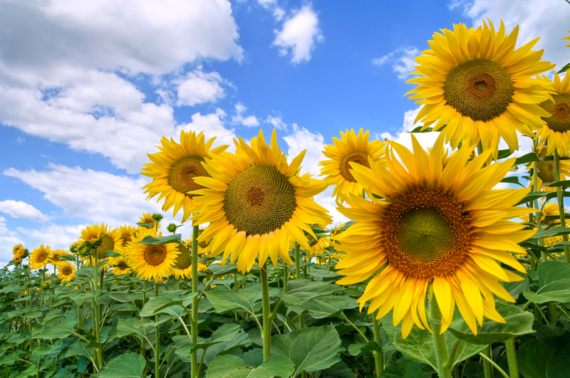 Suncokreti-sunflowers - Page 32 Godlva10