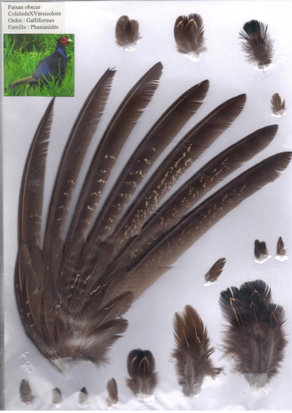 Faisan obscur (colchide x versicolore) Faisan17