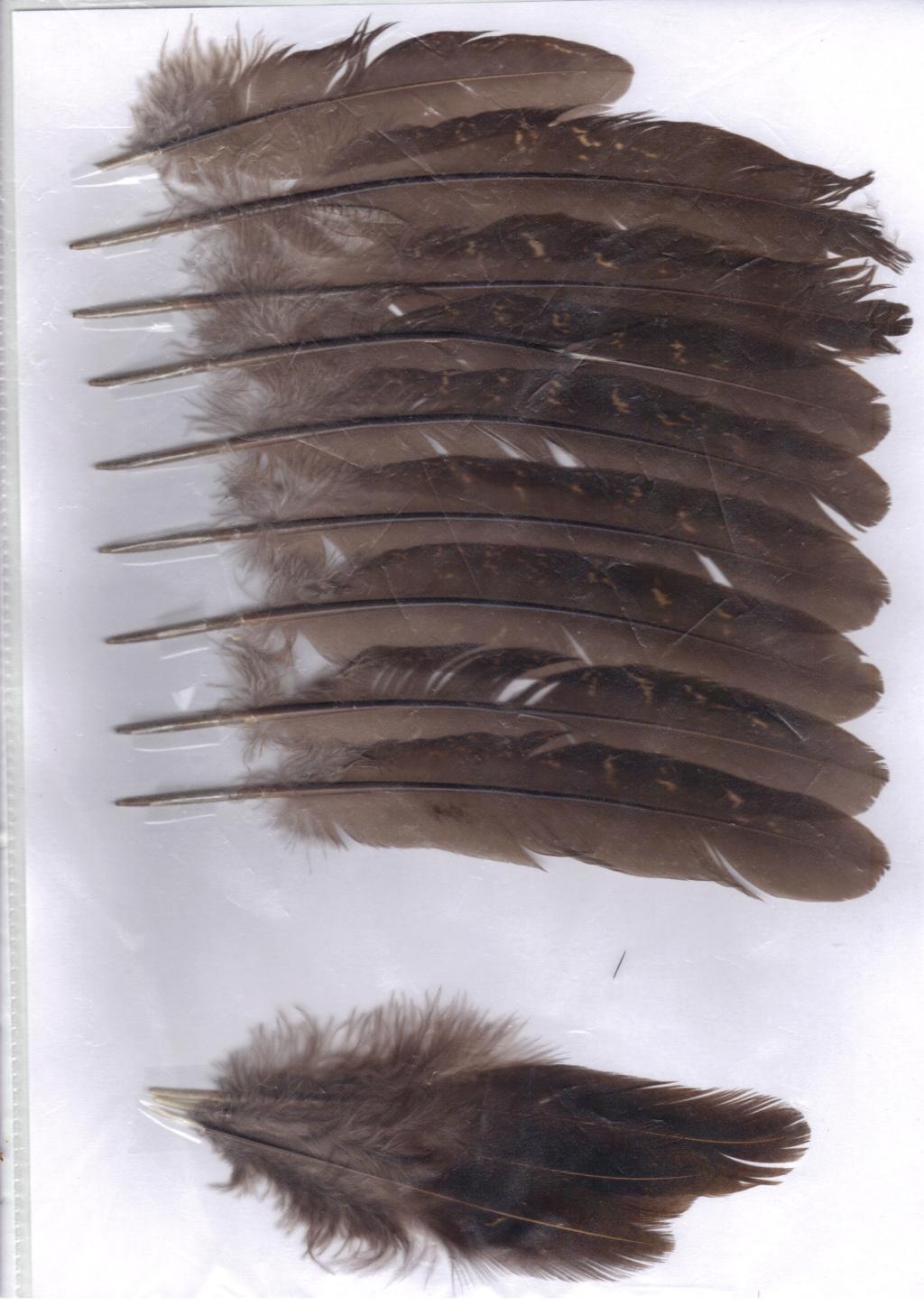 Faisan obscur (colchide x versicolore) Faisan18