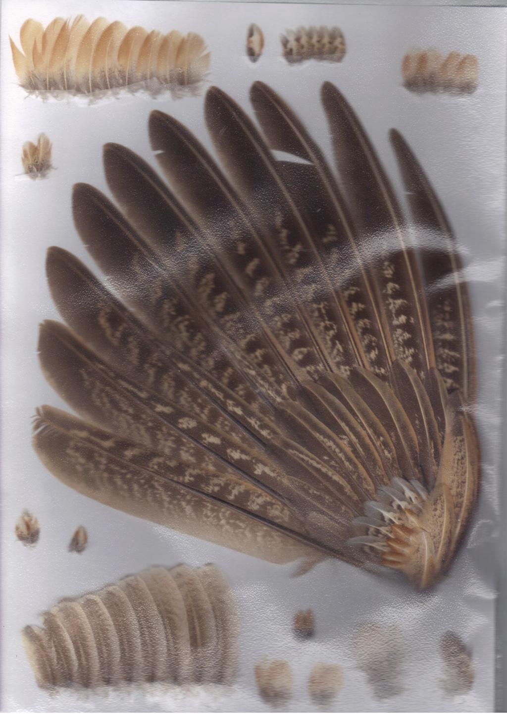 plume non identifiée Faisan35