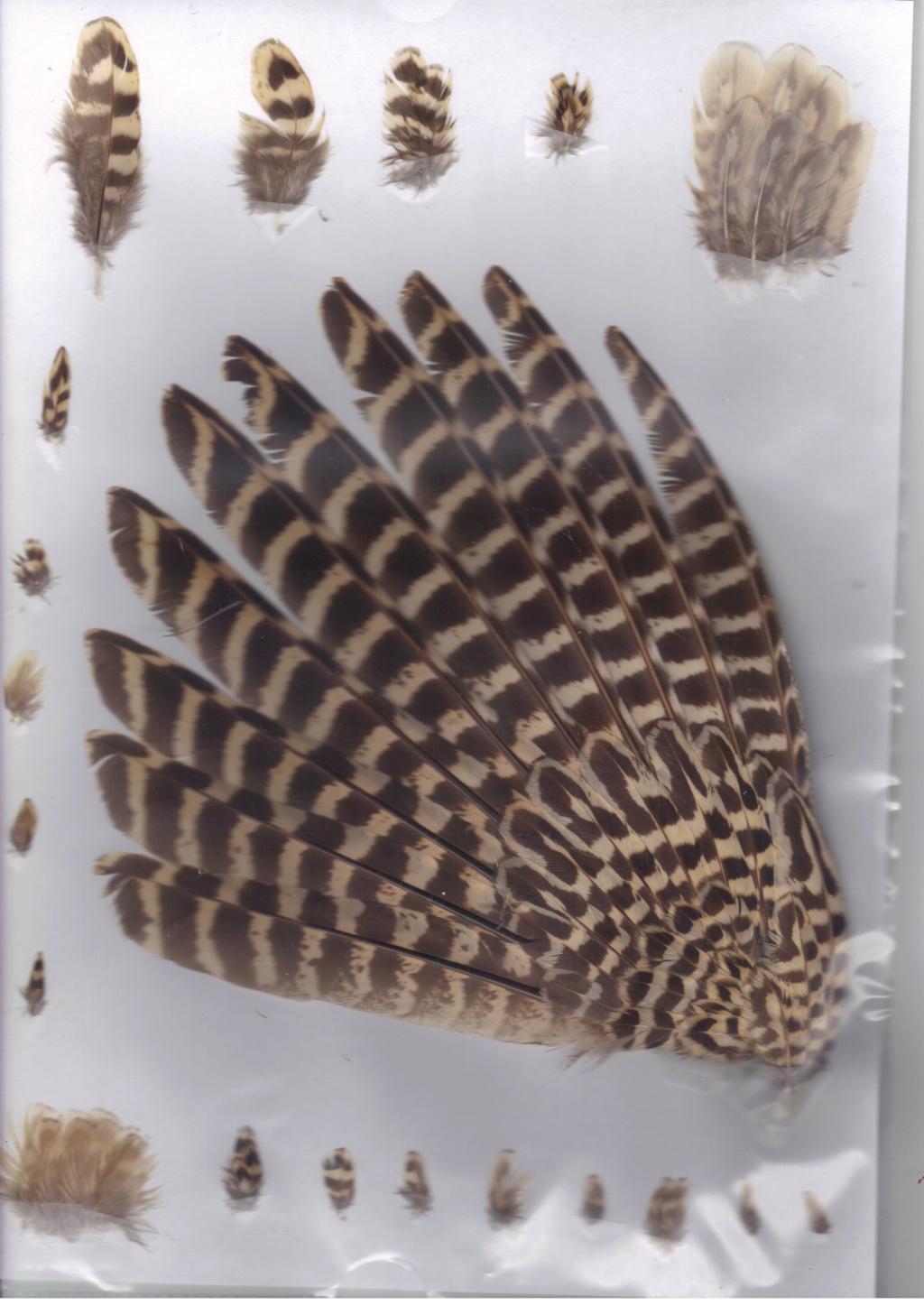 plume non identifiée Faisan36
