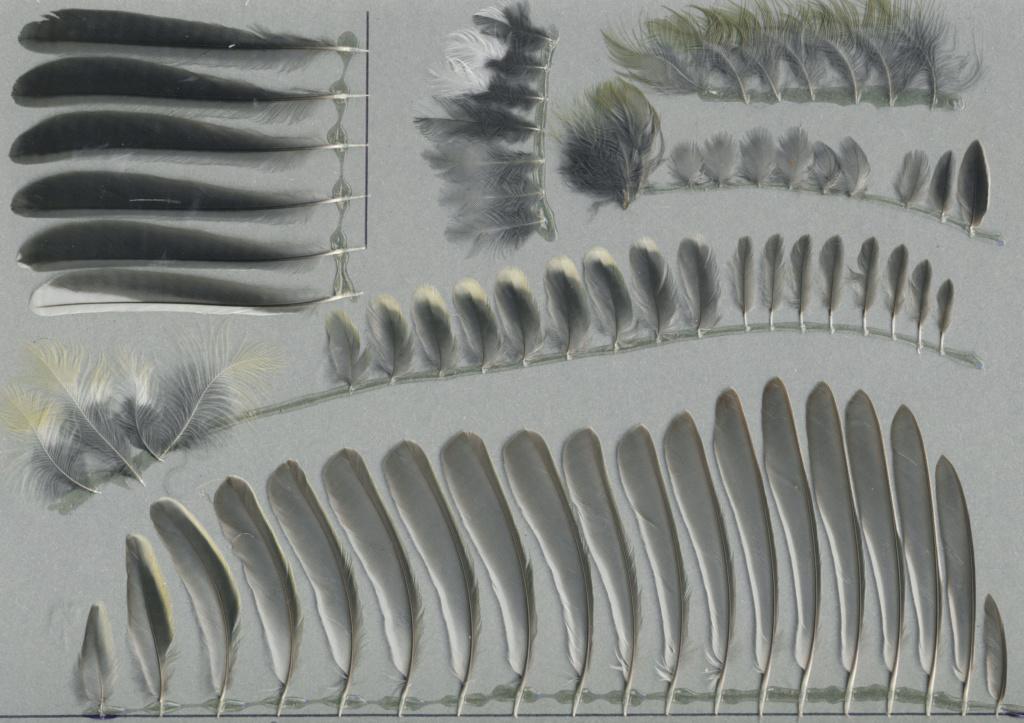 Quelques plumes de passereaux Mzosan10