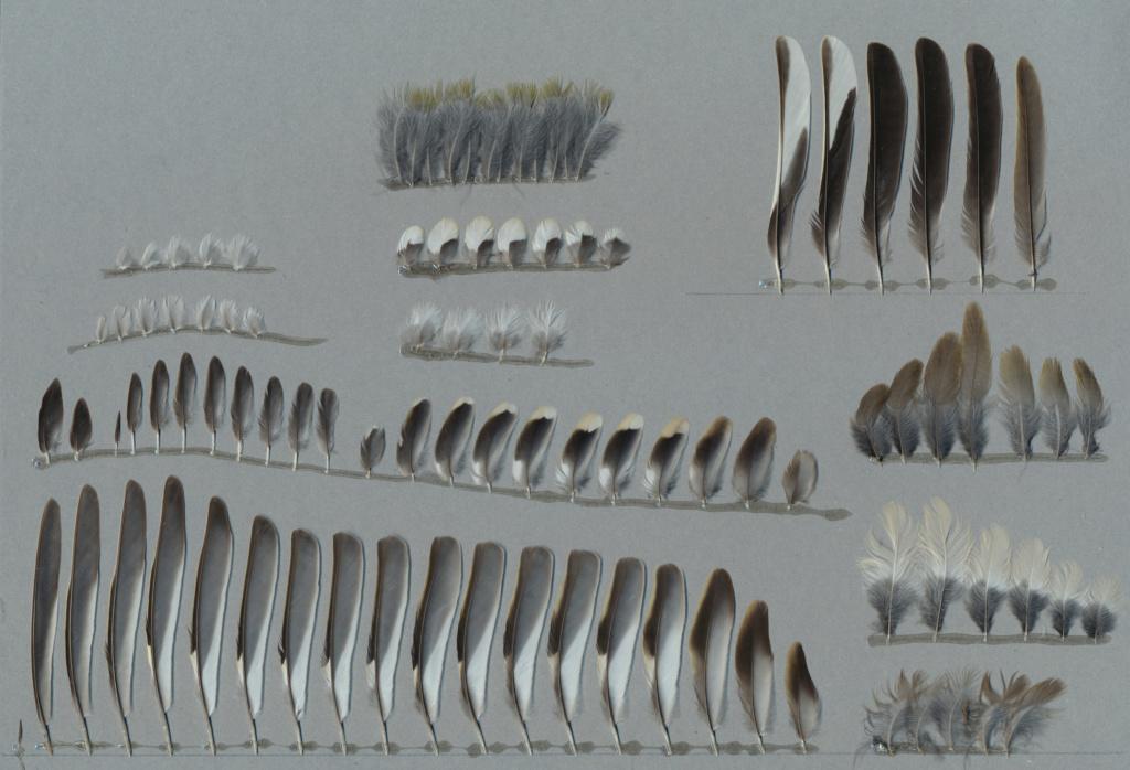 Quelques plumes de passereaux Pinson10